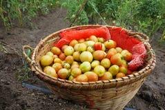 Tomate fresco apenas colhido da exploração agrícola Fotos de Stock