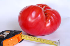 Tomate gigante Fotos de Stock Royalty Free