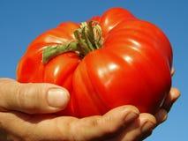 Tomate gigante rojo Fotografía de archivo libre de regalías