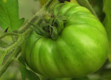 Tomate hirsute verte Photo libre de droits