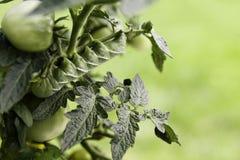 Tomate Hornworm avec l'espace de copie Images libres de droits
