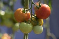 Tomate im Garten Lizenzfreies Stockfoto