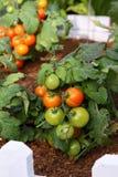 Tomate im Garten Stockfotografie