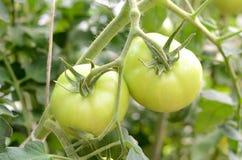 Tomate im Gewächshaus Stockfotografie