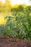 Tomate, lycopersicum de la solanácea, planta de tomate con las flores Un arbusto joven de tomates en el jardín después de la lluv fotos de archivo