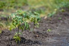 Tomate, lycopersicum de solanum, plante de tomate avec des fleurs Un jeune buisson des tomates dans le jardin après la pluie Les  Photos libres de droits
