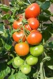 Tomate maduro Imagem de Stock Royalty Free