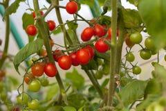 Tomate maduro e verde em um ramo Foto de Stock Royalty Free