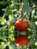 Tomate maduro rojo en vid Fotografía de archivo