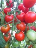 Tomate medicinal do fruto fotos de stock royalty free