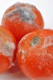 tomate mouldy em um fundo branco fotografia de stock