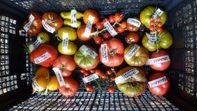 Tomate na cesta 1 Imagens de Stock Royalty Free