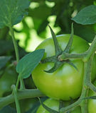 Tomate non mûre Images libres de droits