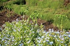 Tomate novo da plântula no cultivo intercropping do vegetal Imagem de Stock
