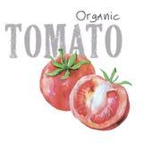 Tomate orgánico del vector de las verduras de la acuarela aislado en el fondo blanco Fotografía de archivo