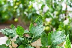 Tomate Pest oder phytophtorosis auf den Pflanzenblättern im Gewächshaus Stockfoto