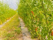 Tomate platation Bauernhof in Sommer Niseko Hokkaido Japan Stockbild
