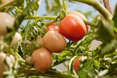 Tomate producido orgánico en una vid Fotografía de archivo
