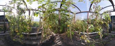 Tomate que cultiva na casa verde Fotos de Stock