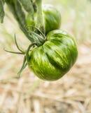 Tomate rayado verde en cama de las verduras foto de archivo