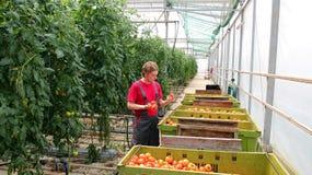 Tomate recién cosechado en las manos del granjero Fotografía de archivo libre de regalías
