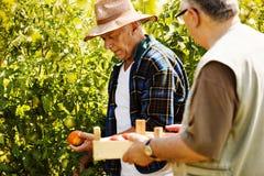 Tomate reprenant Photo libre de droits