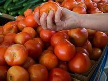 Tomate rojo escogido mano Foto de archivo libre de regalías