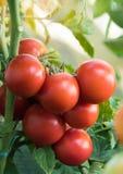 Tomate rouge mûre dans le jour ensoleillé Photo stock
