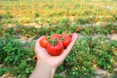 Tomate rouge sur le jardin Photographie stock libre de droits