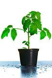 Tomate-Sämling-Anlage Lizenzfreie Stockfotos