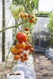 Tomate s'élevant dans la maison verte, plante de tomate rouge fraîche, industrie d'agriculture Images libres de droits