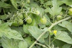 Tomate - Solanium - Fantastico Fotos de Stock Royalty Free