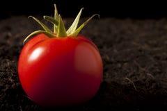 Tomate sur la saleté photographie stock
