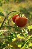Tomate sur le branchement Image libre de droits