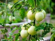 Tomate Unripe Imagem de Stock