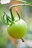 Tomate verde Foto de archivo libre de regalías