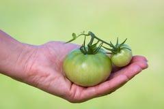 Tomate verde Fotografia de Stock Royalty Free