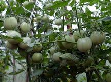 Tomate, verde, comida, jardín, planta, verdura, agricultura, fruta, árbol, naturaleza, hoja, tomates, rama, fresco, orgánico, san Fotografía de archivo libre de regalías