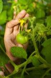 Tomate verde con la flor amarilla Fotos de archivo libres de regalías