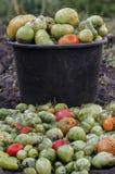 Tomate verde cosechado en el cubo del fondo Fotografía de archivo libre de regalías