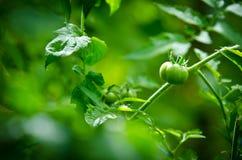 Tomate verde en luz del sol Fotos de archivo