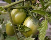 Tomate verde en rama Imagen de archivo libre de regalías