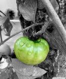 Tomate verde fresco fotografia de stock royalty free