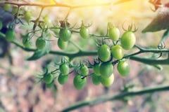 Tomate verde joven Imagen de archivo libre de regalías