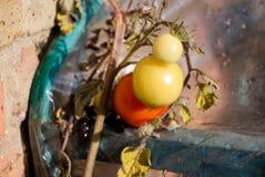 Tomate verde na mola Fotos de Stock Royalty Free