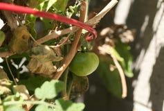 Tomate verde que cresce no jardim Imagem de Stock Royalty Free