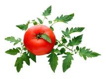 Tomate vermelho maduro com folhas Fotos de Stock Royalty Free