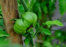 Tomate verte Photo libre de droits