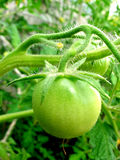 Tomate verte Photos stock