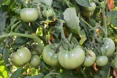 Tomate verte Photographie stock libre de droits